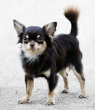 Chihuahua dog standing Royalty Free Stock Photos