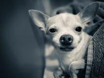 Chihuahua, Dog royalty free stock photo