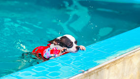 Chihuahua dog swimming in the pool. Chihuahua dog enjoy swimming in the pool Royalty Free Stock Images