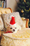 Chihuahua dog take a rest on vintage armchair with cushions, christmas decoration Royalty Free Stock Photography