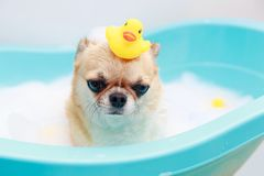 Dog taking a shower Royalty Free Stock Image