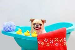 Dog taking a shower. Chihuahua dog taking a shower with duck toys and red towel in blue bucket stock photo