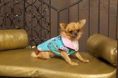 Chihuahua dog in vivid clothes. Chuhuahua brown dog in fashion clothes cyan pink blue vivid Royalty Free Stock Photography