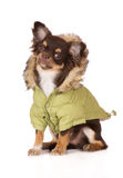 Chihuahua Dog Wearing A Winter Jacket Stock Photo