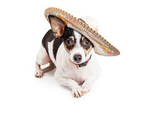 Chihuahua Dog Wearing Big Sombrero. Cute little Chihuahua dog wearing a Mexican sombrero while laying on a white background and looking at the camera stock photo