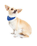 Chihuahua Dog Wearing Blue Bandana Stock Photos
