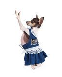 Chihuahua Dog Wearing A Blue Dress Royalty Free Stock Images