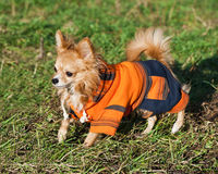 Chihuahua dog wearing bright orange jumpsuit Stock Photography