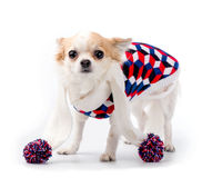Chihuahua dog wearing bright turtleneck sweater and knitted scarf Royalty Free Stock Photography