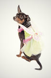 Chihuahua dog wearing a fairy costume Stock Photos