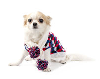 Chihuahua dog wearing knitted scarf and sweater Royalty Free Stock Image
