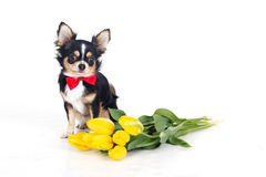 Chihuahua dog is wearing red bow tie with bouquet of yellow flowers Stock Photo