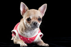 Chihuahua dog wearing a red dress Royalty Free Stock Images