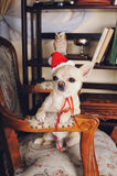 Chihuahua dog wearing a red Santa hat sitting on armchair Royalty Free Stock Photo