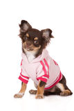 Chihuahua dog wearing a sweater Royalty Free Stock Images