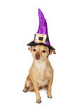 Chihuahua Dog Wearing Witch Hat Stock Photo