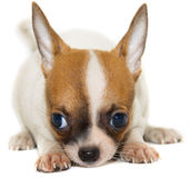 Chihuahua dog on white background Royalty Free Stock Images
