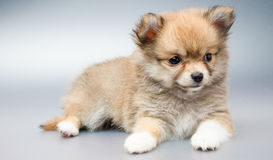 Chihuahua dog. On white background royalty free stock images