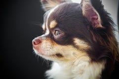 Chihuahua dog. White with chocolate chihuahua dog Stock Photography