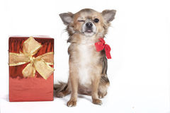 Chihuahua dog winks the eyes. Small chihuahua dog winks the eyes, next to a red gift with decoration bow, background white Stock Photography