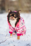 Chihuahua dog in a winter jacket Royalty Free Stock Images