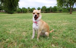 Chihuahua Dog Yawning Outdoor. Chihuahua Dog Sitting and Yawning Outdoor Stock Photography