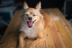 Chihuahua dog is yawning. Stock Image