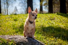Chihuahua dog, 12 years old. On green grass Royalty Free Stock Photo