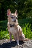 Chihuahua dog, 12 years old. On green grass Stock Photos