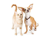 Chihuahua Dog and Young Orange Tabby Cat Royalty Free Stock Photos