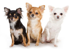 Chihuahua dogs Stock Photography