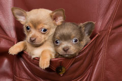 Chihuahua dogs in a coat pocket Stock Photo