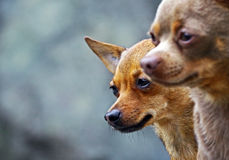 Chihuahua dogs couple Stock Photo
