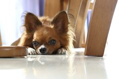 Chihuahua dogs that lie lying on the ground. royalty free stock image