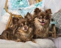 Chihuahua dogs lying on fur in studio sitting on chair in studio. Portrait Stock Images