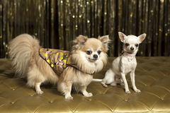 Chihuahua dogs in outfits. Cute chihuahua clothes and outfits at the famous chihuahua Stock Image