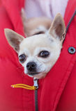 Chihuahua. Dogs sits safely and warmly in the jacket of their math Stock Photography