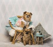 Chihuahua dogs sitting around chair in studio, portrait. Isolated on white Royalty Free Stock Images