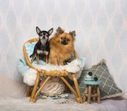 Chihuahua dogs sitting on chair sitting on chair in studio. Portrait Stock Image