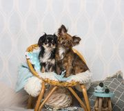 Chihuahua dogs sitting on chair in studio, portrait stock photo
