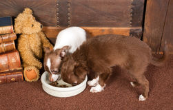 Chihuahua dogs and teddy bear Royalty Free Stock Images