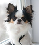 Chihuahua dogs tricolor Royalty Free Stock Image
