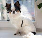 Chihuahua dogs tricolor Royalty Free Stock Photography