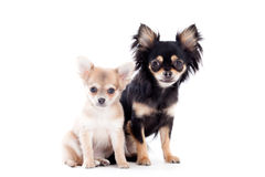 2 chihuahua dogs on white royalty free stock images