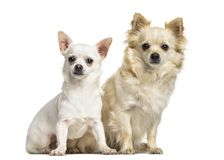 Chihuahua dogs , 4 years old and 7 months old. Sitting against white background Stock Images