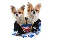 chihuahua dois como cães do pirata Fotografia de Stock Royalty Free