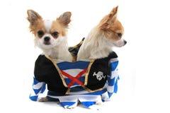 chihuahua dois como cães do pirata Foto de Stock Royalty Free