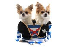 chihuahua dois como cães do pirata Imagem de Stock Royalty Free