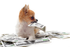 Chihuahua and dollars Stock Photos