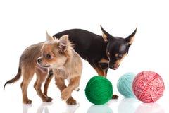 Chihuahua dos cães e uma bola da linha isolada no fundo branco Imagens de Stock Royalty Free